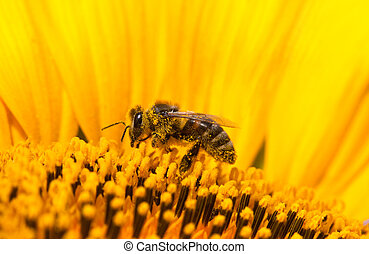 Closeup bee on flower collects nectar - Closeup bees on a...