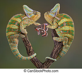 Selfish Chameleons - Two veiled chameleon brothers and...