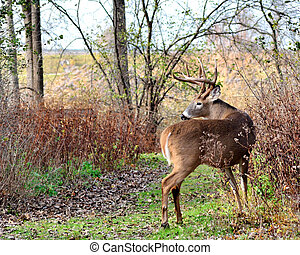 Whitetail Deer Buck standing on a path in the woods.