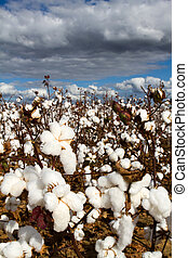 Cotton Field - Cotton field with popped bolls of cotton...