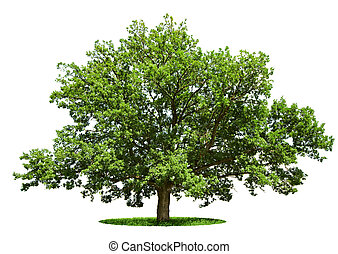 Big tree - oak isolated on a white - The big tree - oak is...