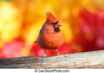 Male Northern Cardinal (Cardinalis) perched with a fall...