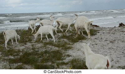 white goats on the sea beach in summer end time