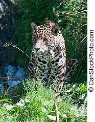 Jaguar - A Jaguar prowling