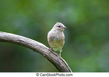 Greenfinch - A Greenfinch on a branch