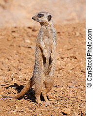 Meerkat - A Meerkat standing tall