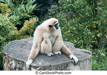 Lar Gibbon - A Lar Gibbon sitting on a tree stump