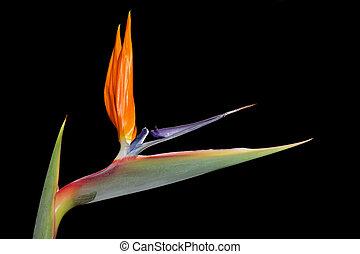 Strelitzia flower - Colorful Strelitzia reginae flower -...