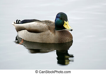 Wild duck swimming in a pond