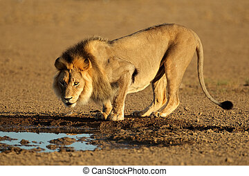 African lion drinking - Big male African lion (Panthera leo)...