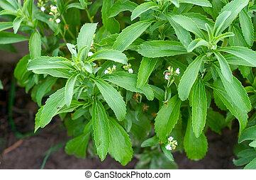 Sheets of Stevia in a Garden - sheets of stevia in a garden