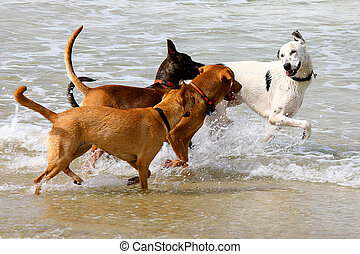 splashing - dogs playing and splashing in water at the beach...