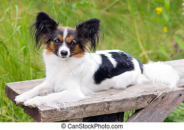 Papillon dog breed is on the bench