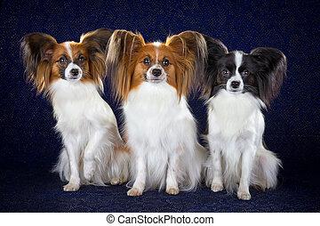 Papillon dogs - Three dog breeds Papillon on dark blue...