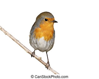 robin on branch isolated - European robin on branch isolated...