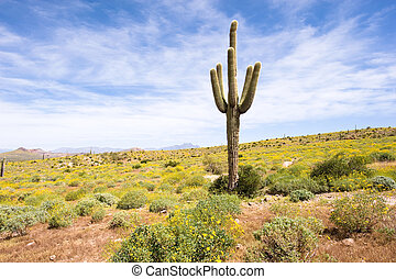 Springtime in the desert - A sagurao cactus in an Arizona...
