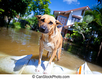 dog looking on overflowing waters of river, natural disaster