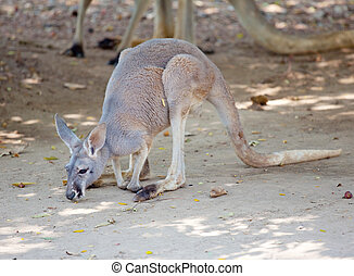 Grey Kangaroo in the park