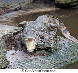 crocodile open mouth - crocodile with open mouth resting