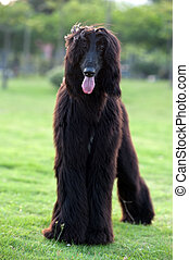 Black afghan hound dog standing on the lawn
