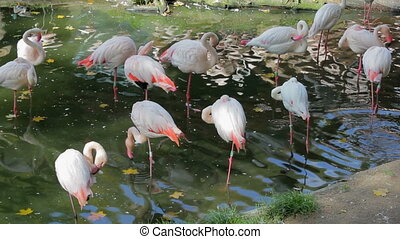 Beautiful American Flamingos Phoenicopterus roseus in ZOO