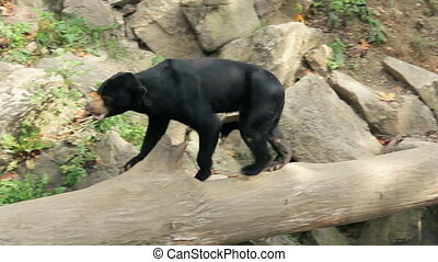 Sun bear known as a Malaysian bear - Sun bear also known as...