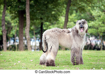 Afghan hound dog standing - An afghan hound dog standing on...