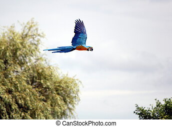 Ara macaw flying - Blue and red ara macaw flying among trees