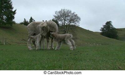 lambs feeding 3