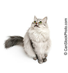 Cat asking to feed him - Beautiful furry cat looking up and...