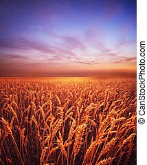 Beautiful evening sky over wheat field