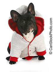 dog wearing coat - french bulldog wearing red and grey dog...