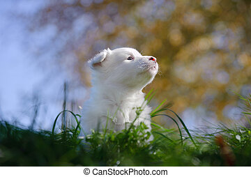 Portrait of yakutian laika puppy with sky and trees on the...