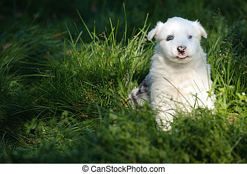Portrait of yakutian laika puppy on the grass
