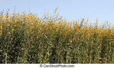 Industrial Hemp Plant Field - Yellow blossoms grow on the...