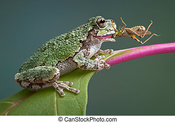 Frog biting grasshopper - A baby grey tree frog has captured...