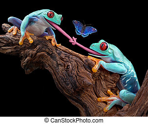 Tongue-tied - Two red-eyed tree frogs were trying to eat the...