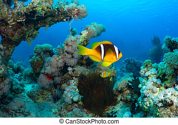 Clownfish - Twoband anemonefish (Amphiprion bicinctus) in...