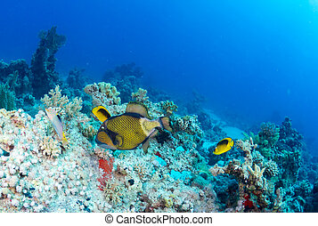 Titan triggerfish (Balistoides viridescens) on a coral in...