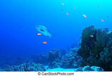 Twospot red snapper Lutjanus bohar in the Red Sea, Egypt