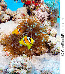 Clownfish - Twoband anemonefish Amphiprion bicinctus in the...