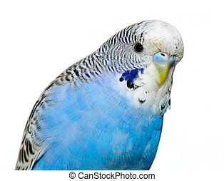 Undulated grass parakeet blue color