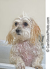 Puppy Taking A Bath - Maltese - Toy Poodle Mix Maltipoo...