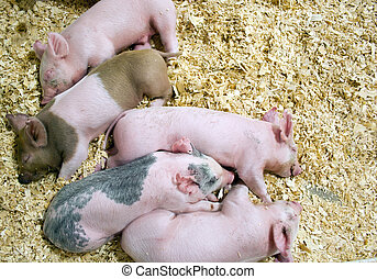 Baby pigs asleep in shavings nestled together