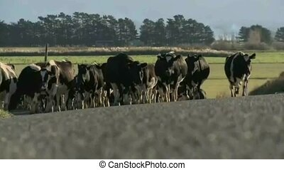 Herd of cows on road in New Zealand - A herd of cows on a...