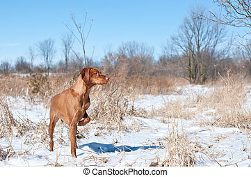 Vizsla Dog Pointing in a snowy field - A vizsla dog pointing...