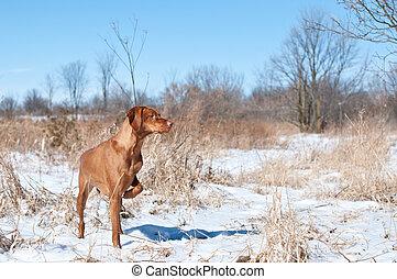 Vizsla Dog Pointing in a snowy field - A vizsla dog pointing...