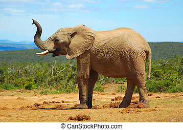 African elephant smelling - A big wild African elephant...