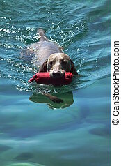 Swimming dog - Dog is swimming in crystal sea, bringing his...