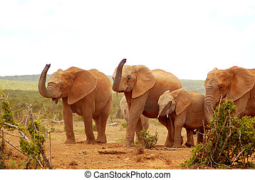 African elephants - A herd of wild African elephants walking...